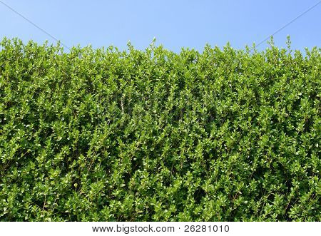Green hedge close up and a blue sky.