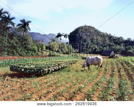 Tobacco Plantation In, Pinar Del Río Province, Cuba With Drying Harvest And Grazing Bulls