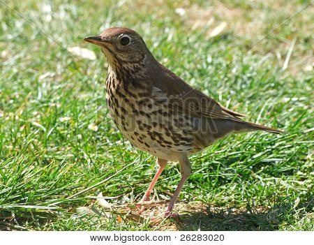 Close up of a friendly British Song Thrush.