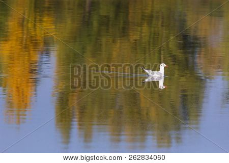 Black-headed Gull.a Young Bird, The Plumage Of A Young Bird. The Bird Lands On The Surface Of The Wa