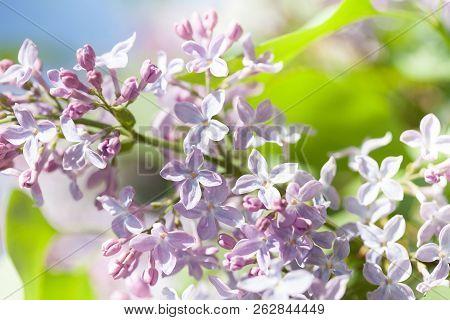 Blooming Spring Purple Violet Flowers. Lilac Flower Springtime Landscape. Soft Focus Photo