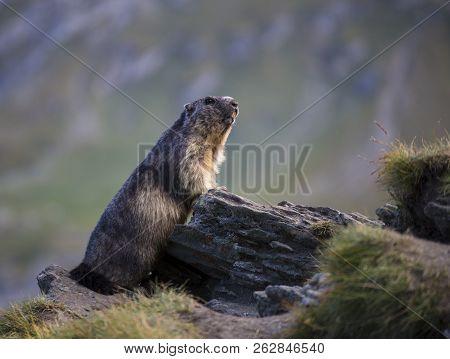 Alpine Marmot ( Marmota Marmota) Among The Stones On A Blurred Background. Austrian Alps. Grossglock