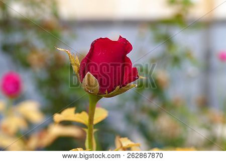 Red Roses,a Man Touches Of Red Roses, Red Rose Bud, Red Rose