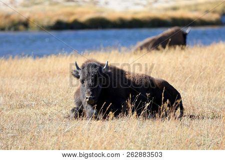 Buffalo (bison) Sunbathing In Yellowstone National Park