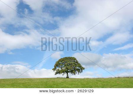 Solitary Oak In Summer