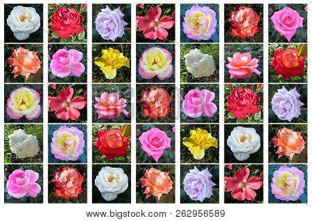 A Variety Of Rose Flower, Rosa Sp., Tokyo, Japan