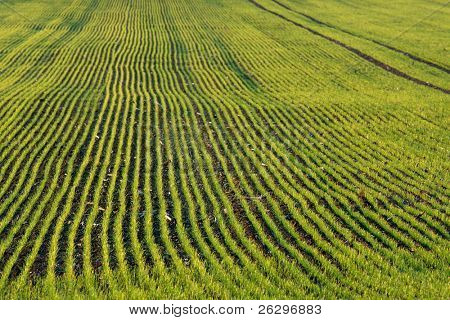 Agricultural field with rows of small plants growing