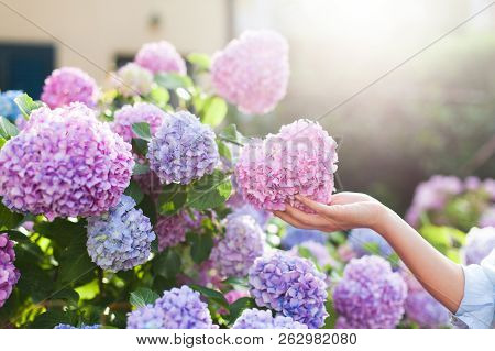 Gardening In Bushes Of Hydrangea. Girls Hand Touches Bunch In Country Garden. Flowers Are Pink, Blue