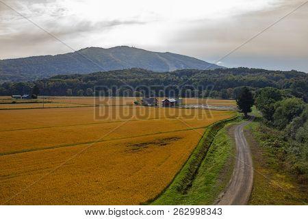 Beautiful Landscape Of Yellow Rice Paddy Field  In Hokkaido Japan