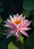 Bee and pink water lily poster