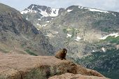 Marmot sunning himself surrounded by the splendor of the Rocky Mountains poster