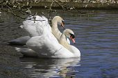 pair of swans (a cob and a pen) courting in a pond poster
