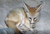 The fennec fox or fennec (Vulpes zerda) is a small nocturnal fox found in the Sahara of North Africa. poster