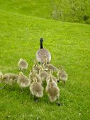 baby geese following the mother poster