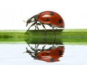 Feflection of Ladybird on white background poster