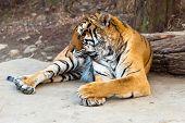 Rare Siberian ussur Amur tiger Seoul grand park zoo poster
