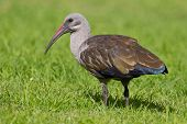 Hadeda ibis (bostrychia hagedash) at Wilderness National Park in South Africa. poster