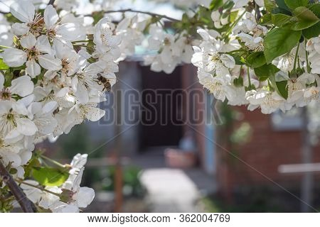 A Beautiful Flowering Cherry Branch With White Bundles Of Petal Buds And A Bee Collecting Pollen. Sp