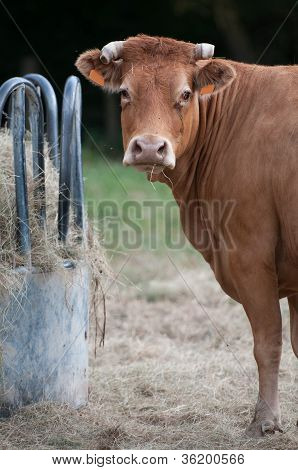 Rack Cow And Curious Cow