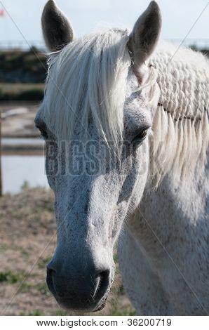 White Horse Portrait And Salt Marsh (closeup View)