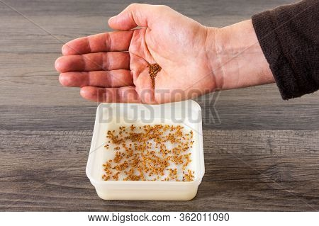 Person With A Handful Of Cress Seeds, Sowing Seeds Into A Container