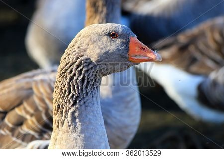 Heads Of Beautiful Gray Geese With Beaks, Perigord Geese On A Traditional Farm Goose, Spring, Summer
