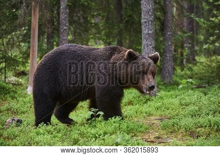 A Large Brown Bear (ursus Arctos)walking In The Boreal Forest