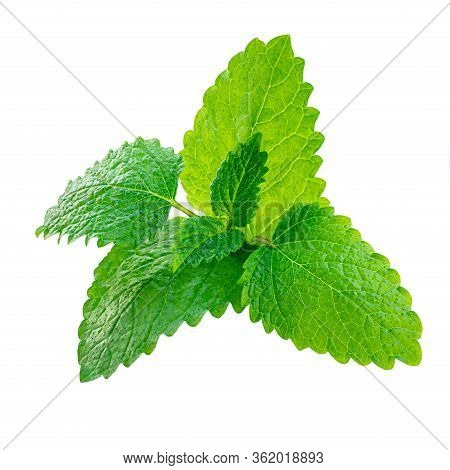 Fresh Lemon Balm (melissa Officinalis) Leaves Isolated On A White Background. Mint, Peppermint Close