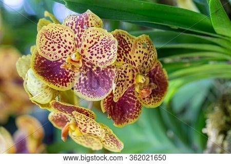 Orchid Flower In Orchid Garden At Winter Or Spring Day. Vanda Orchidaceae.