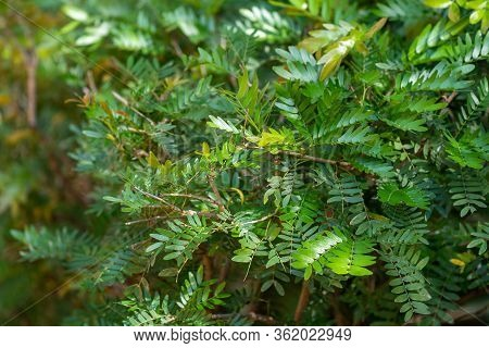 Surinamese Stickpea Fern Plant Leaves In The Sunshine (this Shrub Is Also Known As A Powder Puff Pla