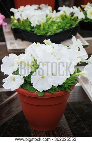 Petunia ,petunias In The Tray,petunia In The Pot, White Petunia