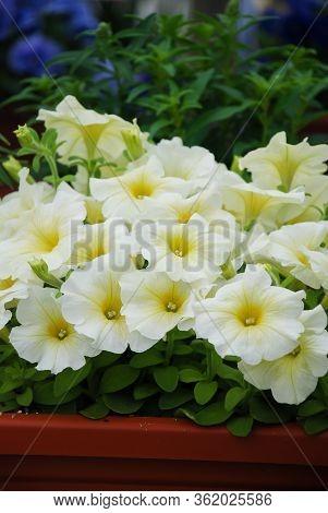 Petunia ,petunias In The Tray,petunia In The Pot, Light Yellow Petunia