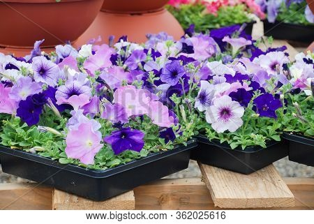 Petunia, Blue And Purple Petunias In The Tray,petunia In The Pot, Mixed Color Petunia