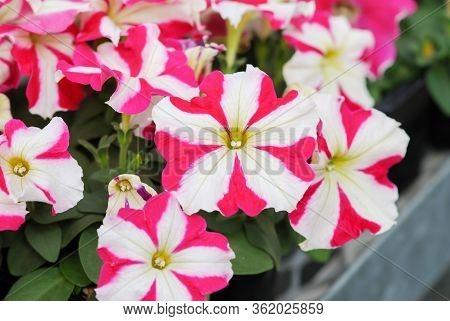 Petunia ,petunias In The Tray,petunia In The Pot, Pink Star Petunia