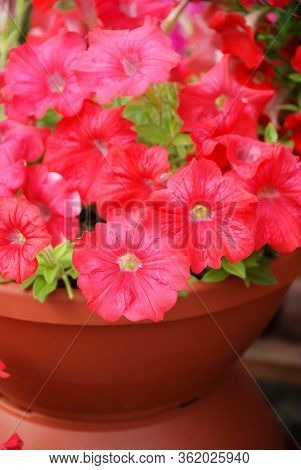 Petunia ,petunias In The Tray,petunia In The Pot, Red Petunia