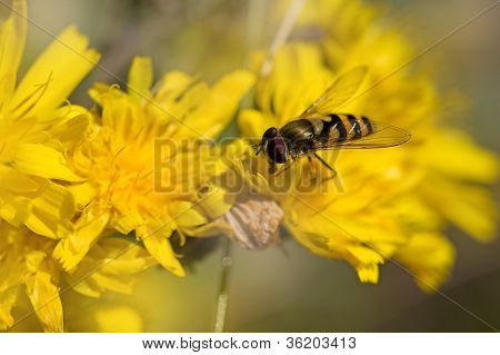 Close-up of a Marmelade Hoverfly on a Dandelion poster