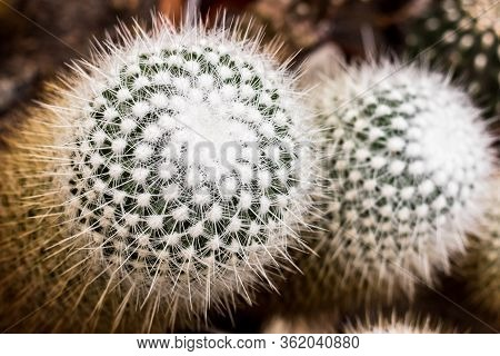 Cactus Plants. Nature Green Cactus. Cactus Patterns. Cactus Plants With Blurred Background.