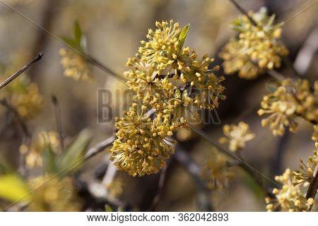 Flower Of A Cornelian Cherry, Cornus Mas.