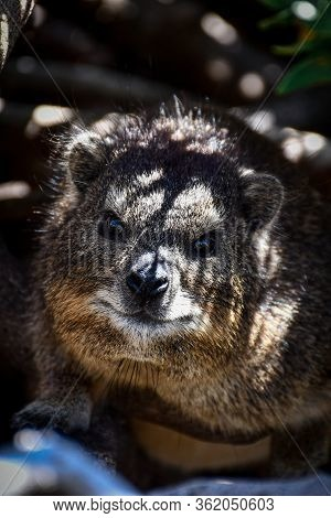 Rock Dassie Hidding Under The Bushes In The Afternoon