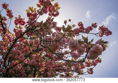 Blooming Japanese Cherry Trees In Spring In Rome, Italy