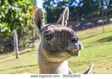 Close-up Portrait Of Guanaco (lama Guanicoe), Camelid Native To South America, Closely Related To Th