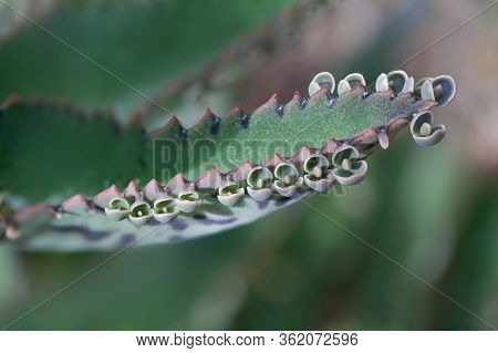 Close Up Of Kalanchoe Daigremontiana Succulent Leaf With Seeds; Plant Is Also Known As Alligator Pla