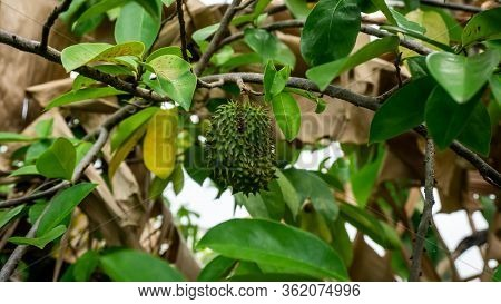 Close Up View Of Unripe Young Soursop On The Tree At The Garden.