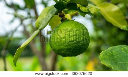 Close Up View Of Kaffir Lime Or Limau Purut On The Tree At The Garden.