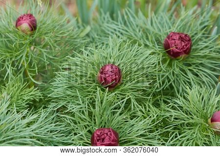 Narrow-leaved Red Peony (paeonia Tenuifolia L.) In The Spring Garden. Arboretum, Flowers In A Botani