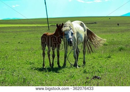 Foal And Mother Horse Graze Together. Colt Does Not Leave Small Side Chains Attached To The Mother H
