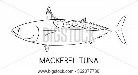Tuna. Mackerel Tuna. Commercial Fish Species. Colored Vector Illustration. Linear Icon. White Isolat