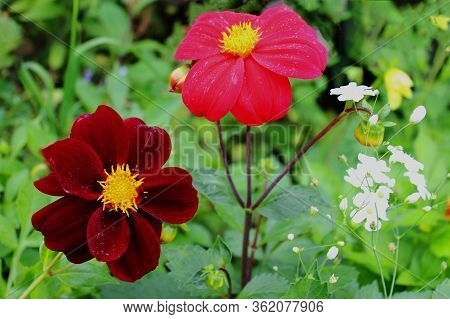 Two Beautiful Red Dahlia Flowers On A Sunny Day In The Garden. Popular Garden Flowers. Dahlias Are T