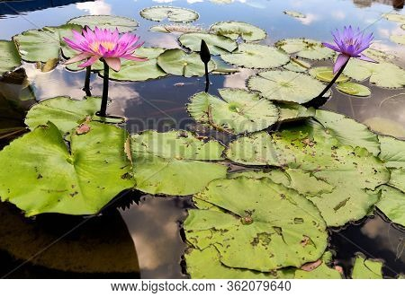 Purple Lilies Are Blooming In A Pond. Blooming Lotus Flower In Summer Pond With Green Leaves As Back