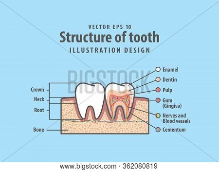 Cross-section Structure Compare Inside And Outside Tooth Diagram And Chart Illustration Vector On Bl